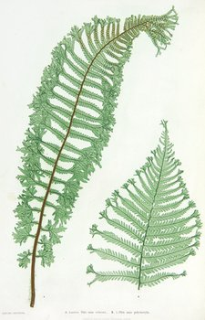 442C: Moore (Thomas) The Ferns of Great Britain
