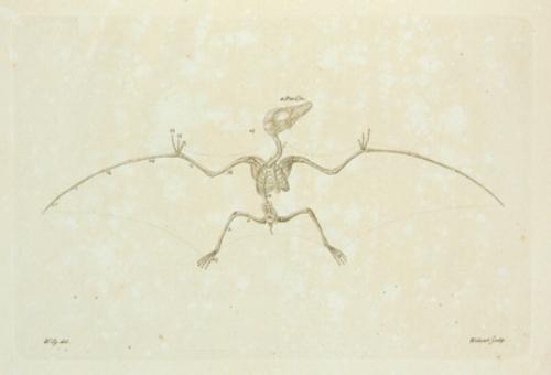 132B: Soemmerring (Samuel Thomas) Ornithocephalus