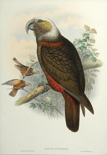 10A: Gould (John) Nestor hypopolius