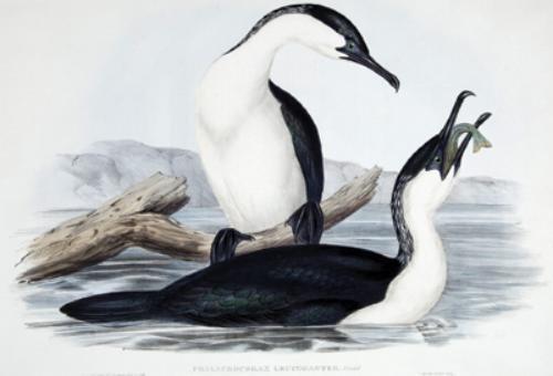 12A: Gould (John) 2 Cormorants from Australia