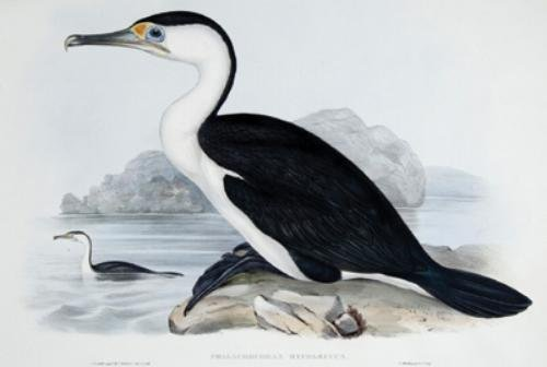13A: Gould (John) 2 Cormorants from Australia