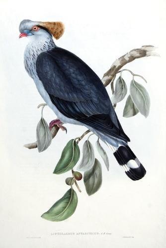 14A: Gould (John) 3 Pigeons from Australia