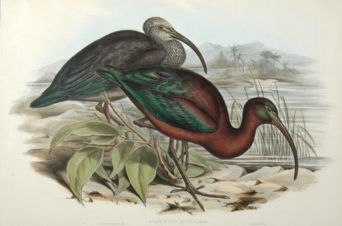 15A: Gould (John) Glossy Ibis