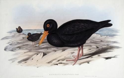 19A: Gould (John) 2 Oyster-catchers from Australia