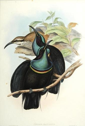 24A: Gould (John) Ptiloris magnificus