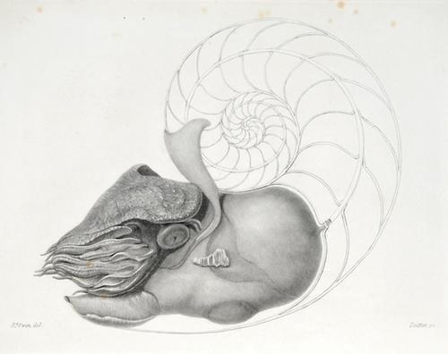 509C: .Memoir on the Pearly Nautilus,1832