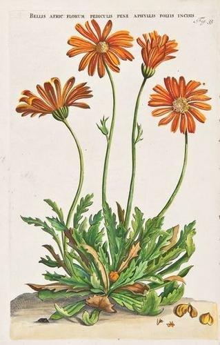 659: Commelin (Jan) [Horti Medici Amstelodamensis]