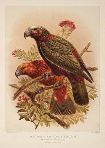 9: Buller.History of the Birds of New Zealand