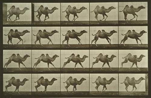 1: Eadweard Muybridge (1830-1904) Camel Walking; Came