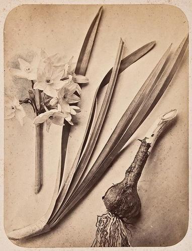 4: Pietro Guidi (active 1870's) Narcissus Papyracens