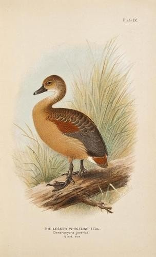5: Baker (E.C.Stuart) Indian Ducks and their allies