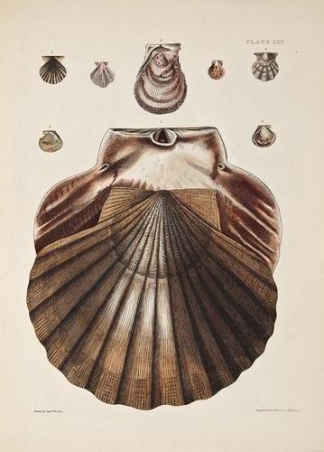 19: (Capt. Thomas) Illustrations of the Recent Conchol