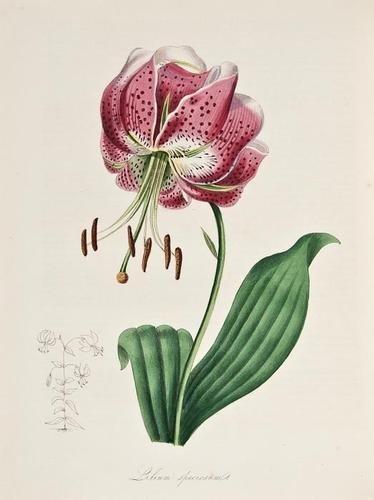 24: Burnett (M.A.) Plantae utiliores; or Illustrations