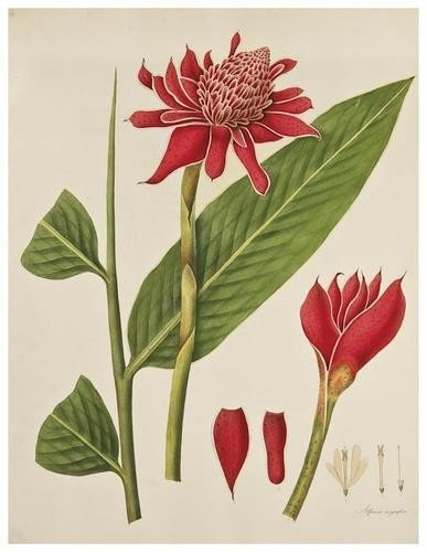 126: Roscoe (William) Monandrian Plants of the Order Sc
