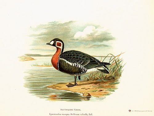 4C: Alphéraky (Sergius) The Geese of Europe and Asia,