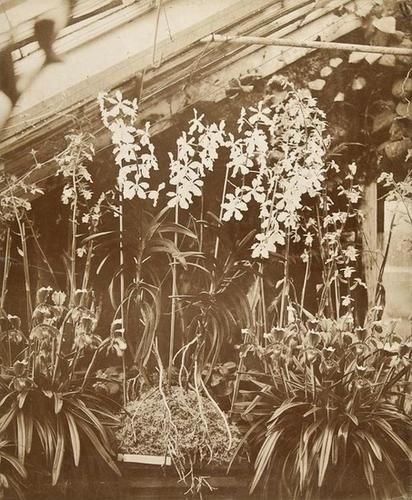 13: John Dillwyn Llewellyn (1810-1882) Orchids Penller