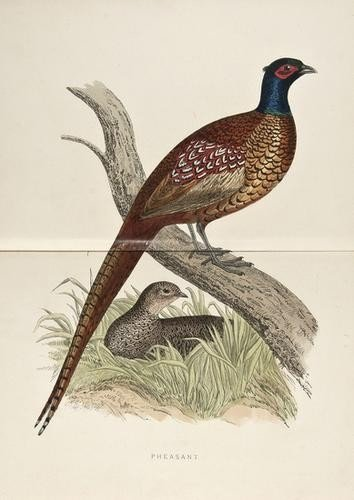 9: -. Morris (Beverley R.) British Game Birds and Wil