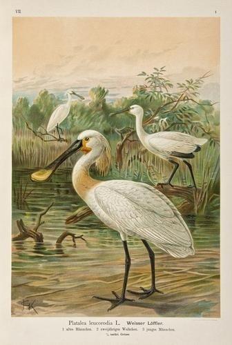 11: -. Naumann (Johann Andreas) Naturgeschichte der Vö