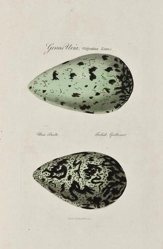 20: Graves (George) Ovarium Britannicum