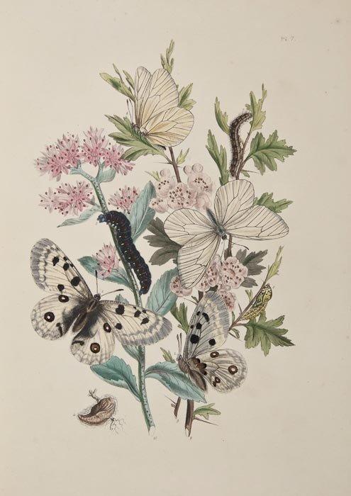 358: Humphreys (Henry Noel) British Butterflies
