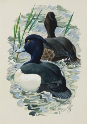 22: Tunnicliffe (Charles Frederick) A pair of Tufted d