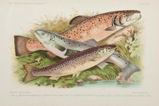 111: Day (Francis) British and Irish Salmonidae