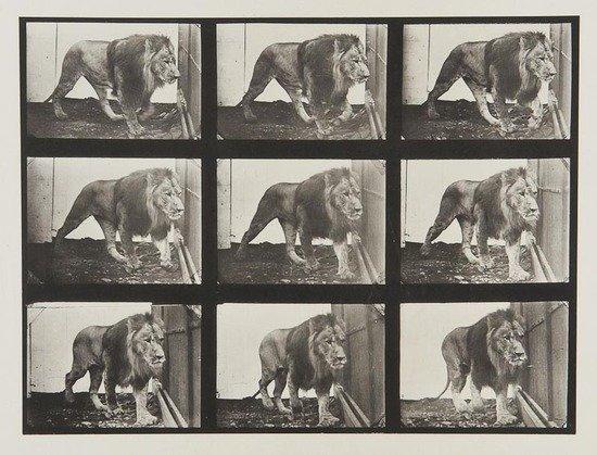 4: Eadweard Muybridge (1830-1904) Lion Walking, Plate