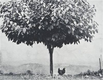 54: Edouard Boubat (1923-1999) La Poule et L'Arbre, Fr
