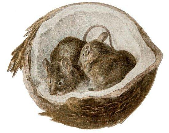 [Potter (Beatrix)] [Two mice in a coconut]