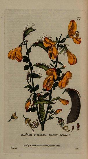 Baxter (William) British Phaenogamous Botany;
