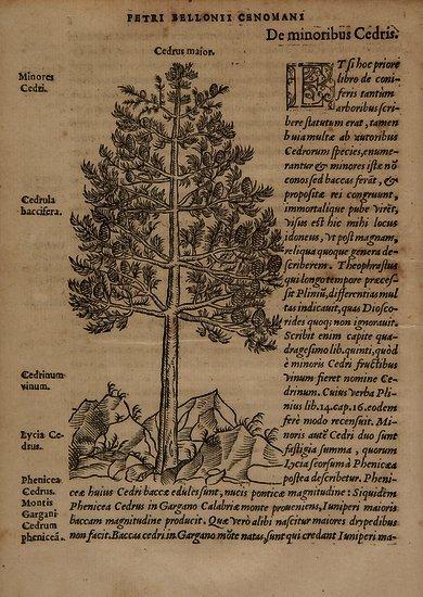 Belon du Mans (Pierre) De Arboribus coniferis, res