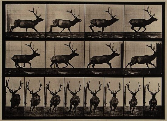 Eadweard Muybridge (1830-1904) Elk Galloping, Plat