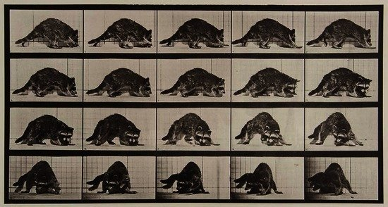 Eadweard Muybridge (1830-1904) Raccoon, Plate 745