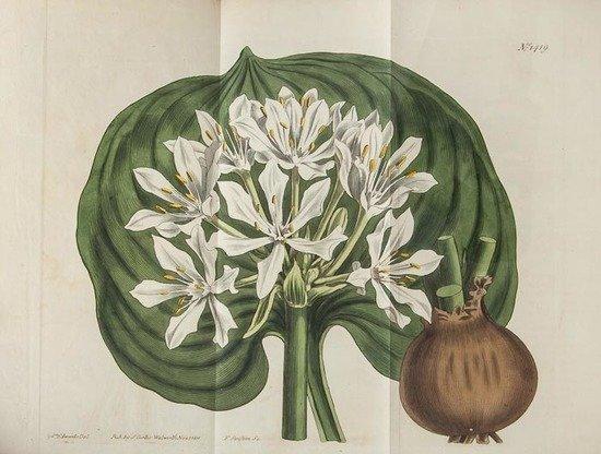 Curtis (William) The Botanical Magazine