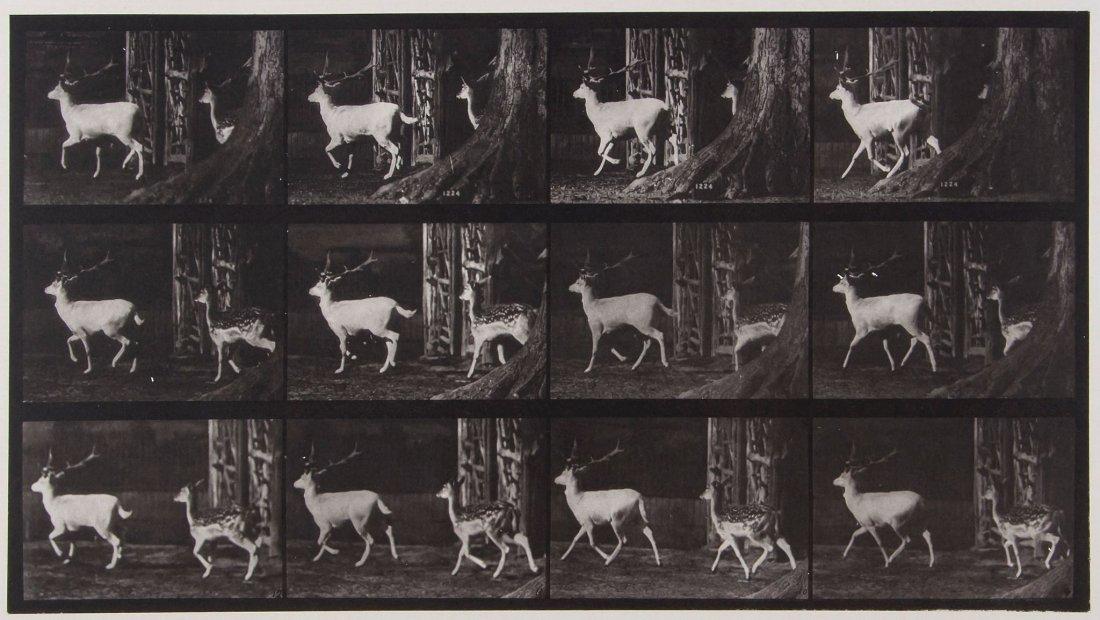 Eadweard Muybridge (1830-1904) - Fallow Deer, Buck