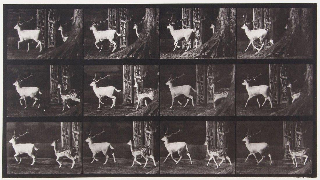 Eadweard Muybridge (1830-1904) - Fallow Deer, Buck and