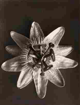 Karl Blossfeldt (1865–1932) - Equisetum Hiemale