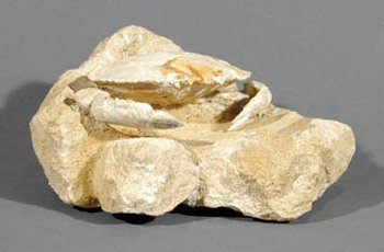 1B: FOSSILISED CRAB ON MATRIX, sp Harpactocacinus