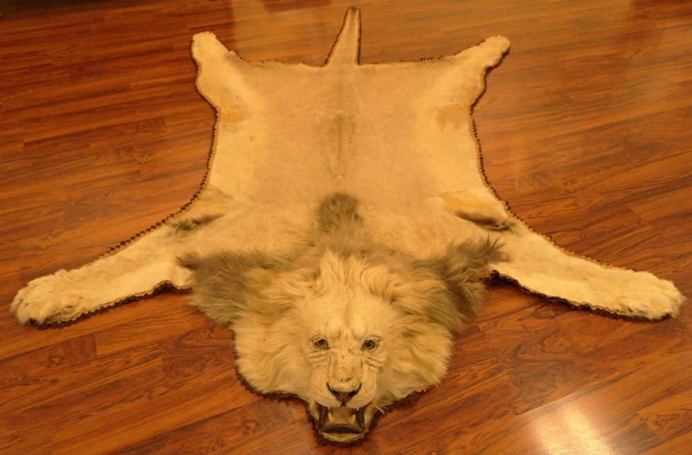 Beautiful Mounted Lion Skin Rug Jonas Brothers Taxidermy Lot 0175