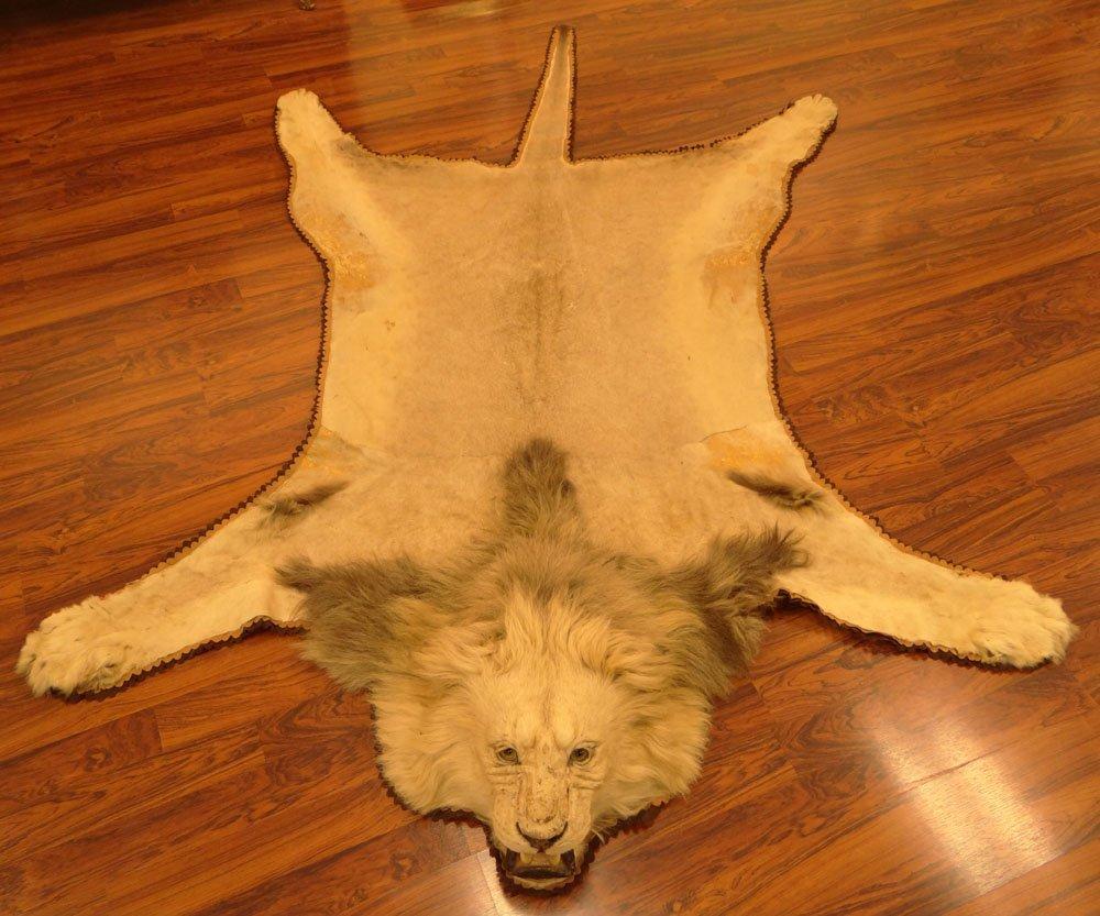 Mounted Lion Skin Rug. Jonas Brothers Taxidermy - 2