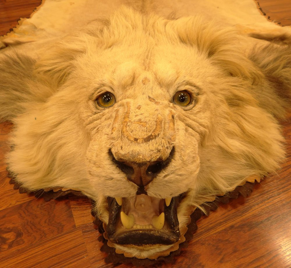Mounted Lion Skin Rug. Jonas Brothers Taxidermy - 3