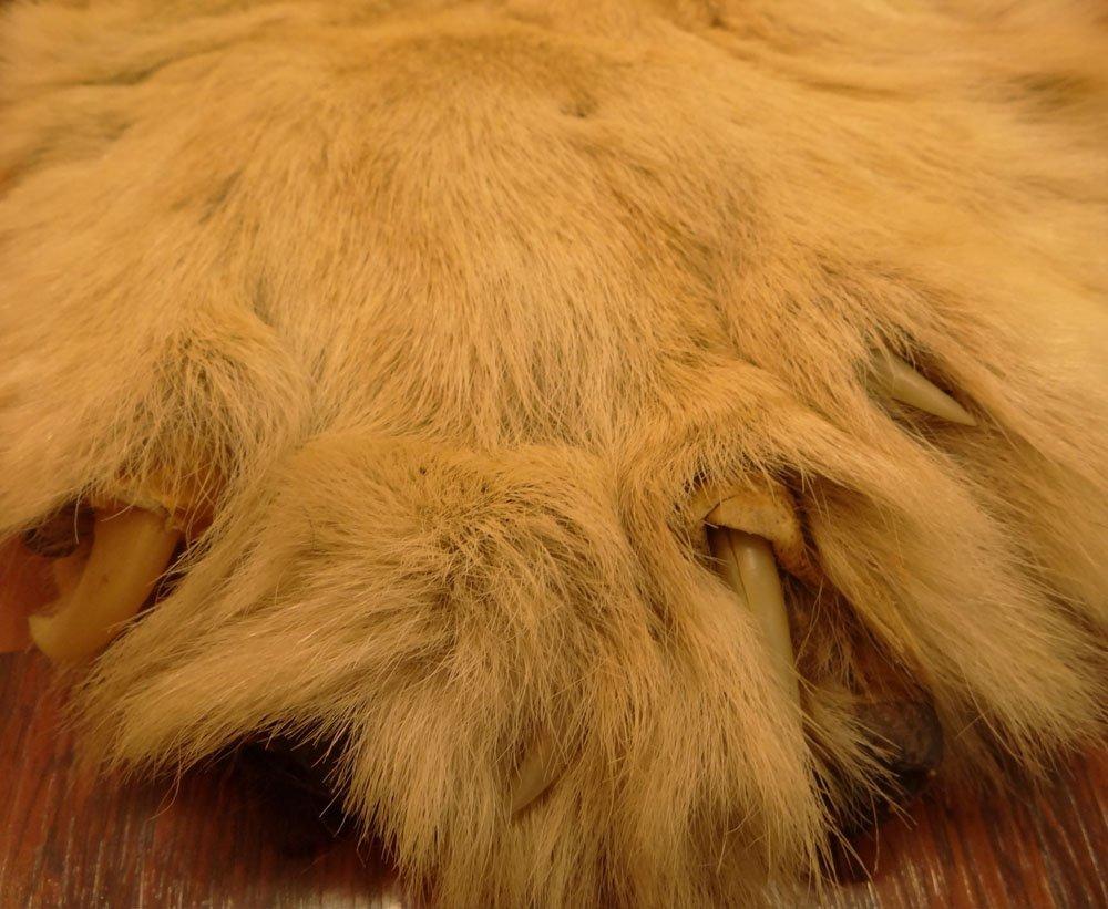Mounted Lion Skin Rug. Jonas Brothers Taxidermy - 4