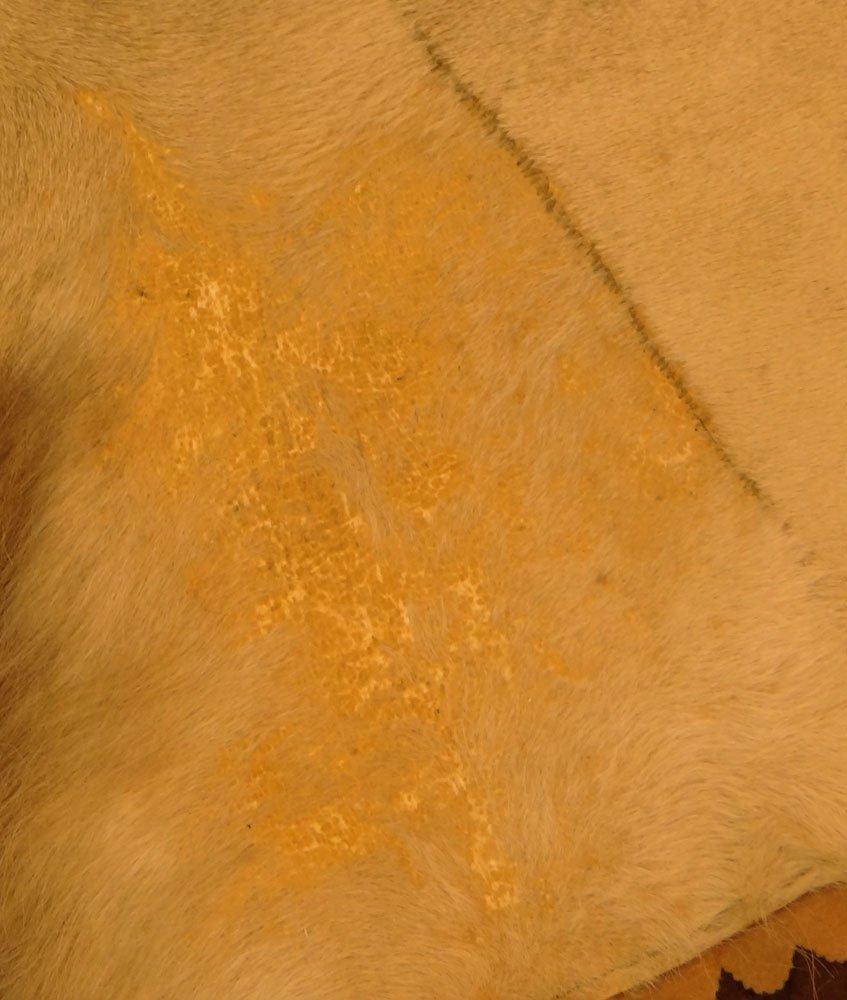 Mounted Lion Skin Rug. Jonas Brothers Taxidermy - 6