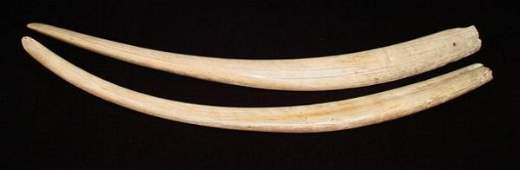 153A: Pair of Ivory Walrus Tusks. Uncarved. They Measur