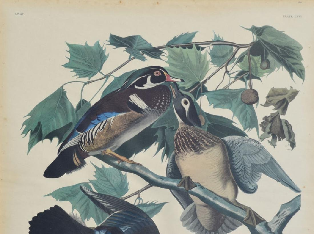 Antique Audubon Summer Ducks Large Print - 2