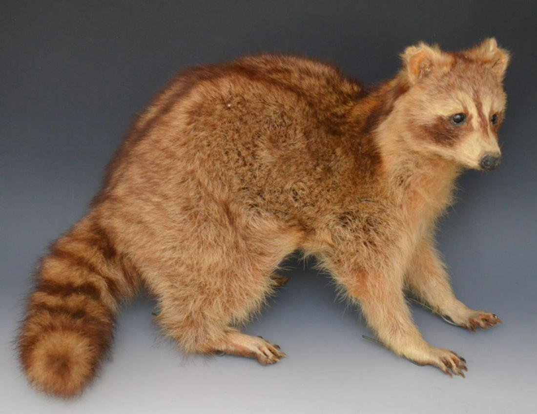Antique Raccoon Full Mount Taxidermy