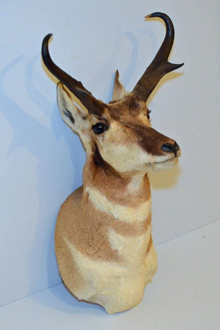 Prong Horn  Antelope Shoulder Mount Taxidermy