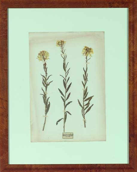 427: Framed Dried European Botanical Specimens