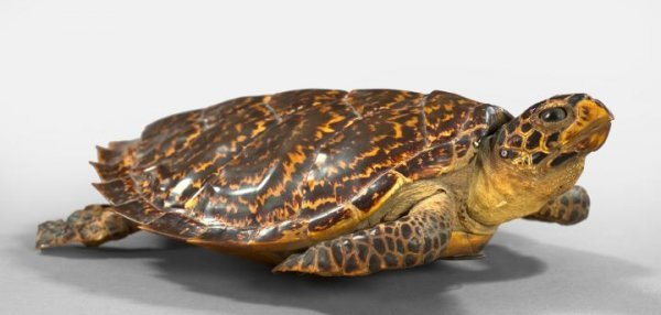 13: Taxidermy Figure of a Sea Turtle,