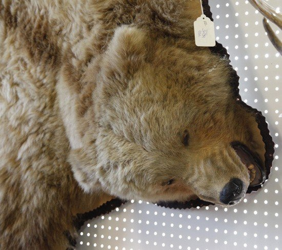 1071: Taxidermy-Mounted Grizzly Bear Rug, - 3